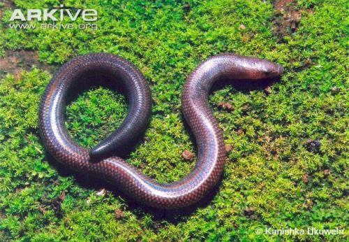 Snake looking skink.