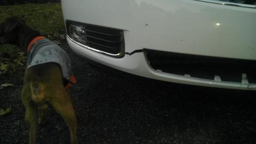 raccoon-hit-car-3
